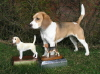 Rocamar  Smiles at Madika with the SBC Beagle of the Year trophy and the Craigmount trophy - both for 2004